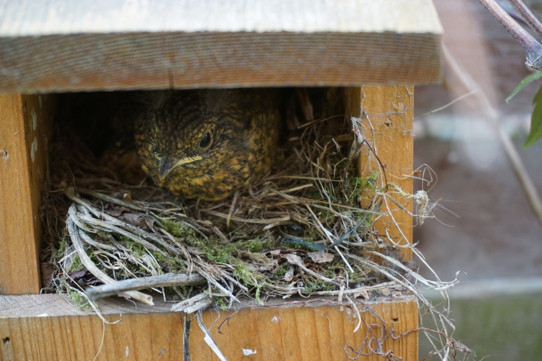 A baby robin leaving the nest for the first time