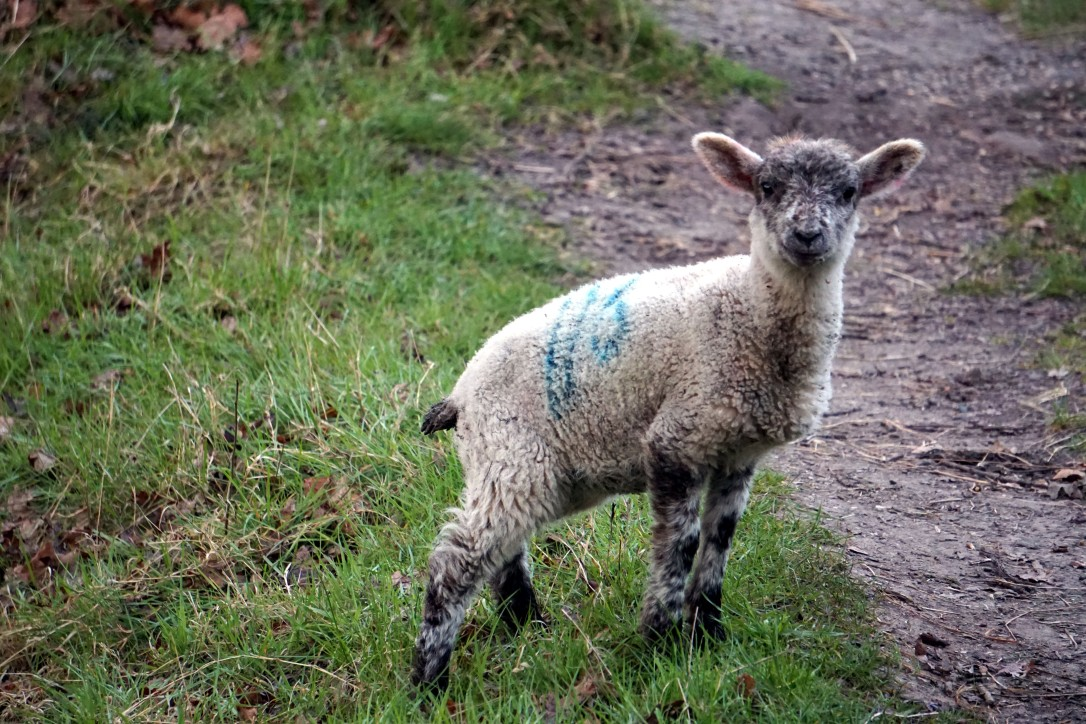 A spring lamb having a rest from its gambolling