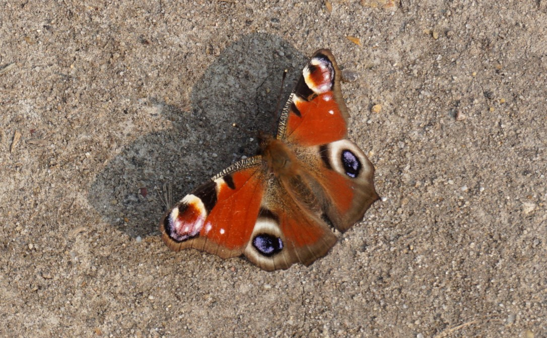A peacock butterfly enjoying the warm spring sun
