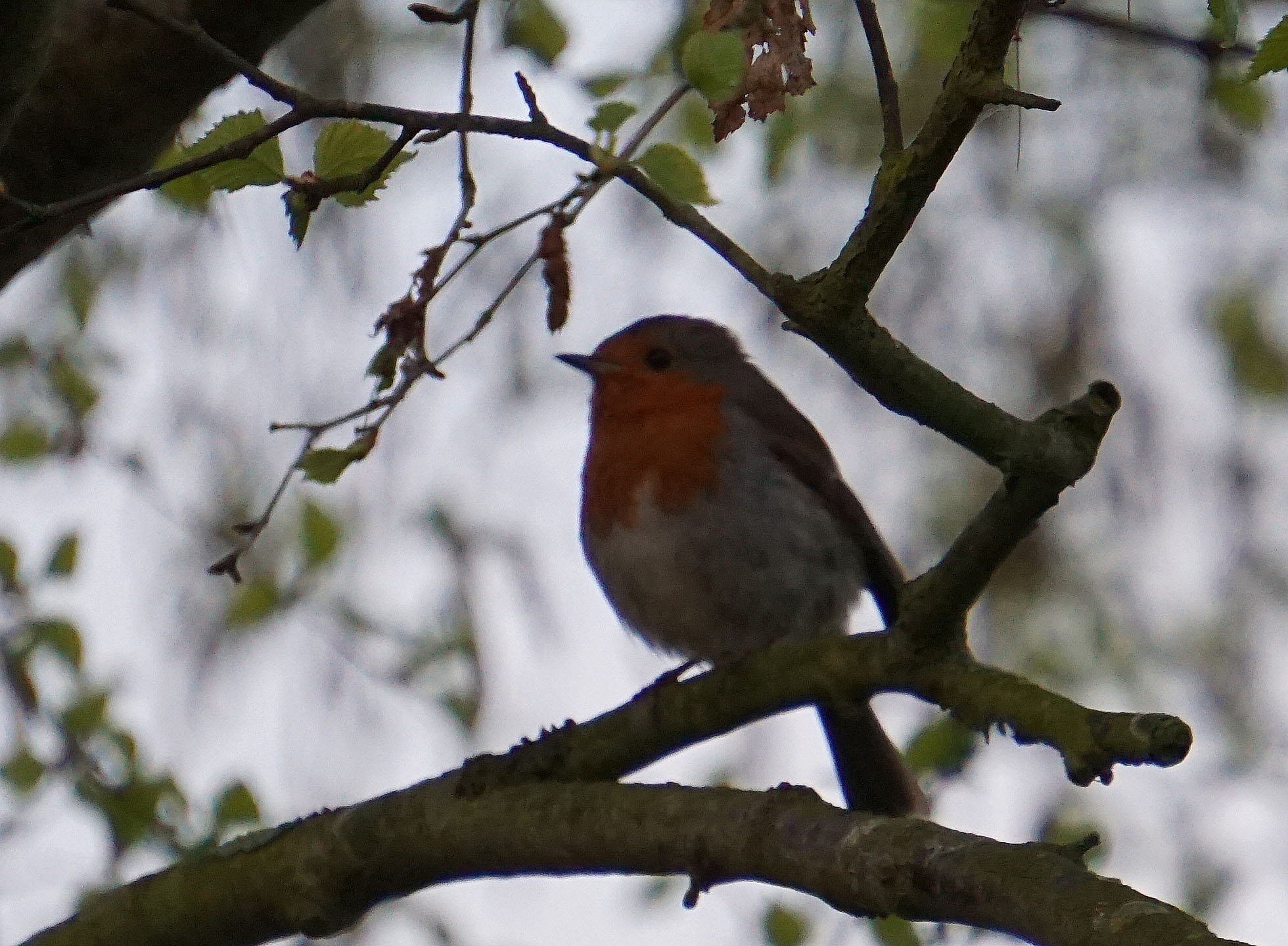 A robin singing in the tree - maybe the parent of the fledgling