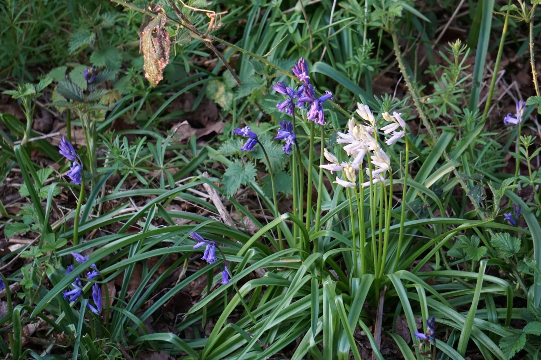 Bluebells and whitebells in our local woods