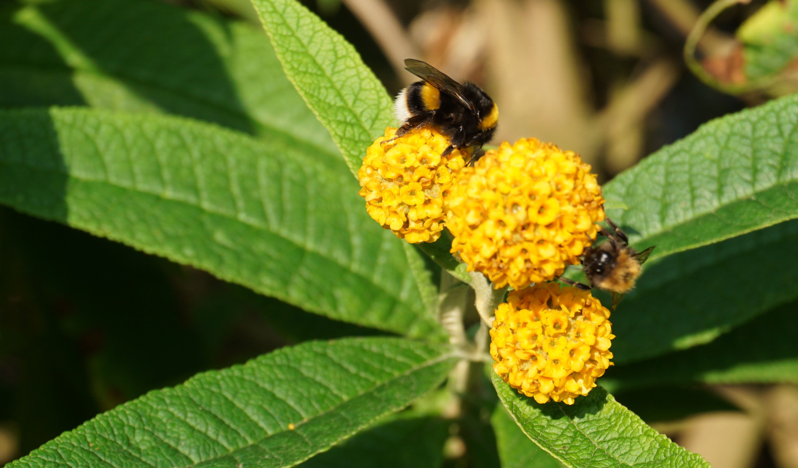 bumble bee and honey bee on buddleia