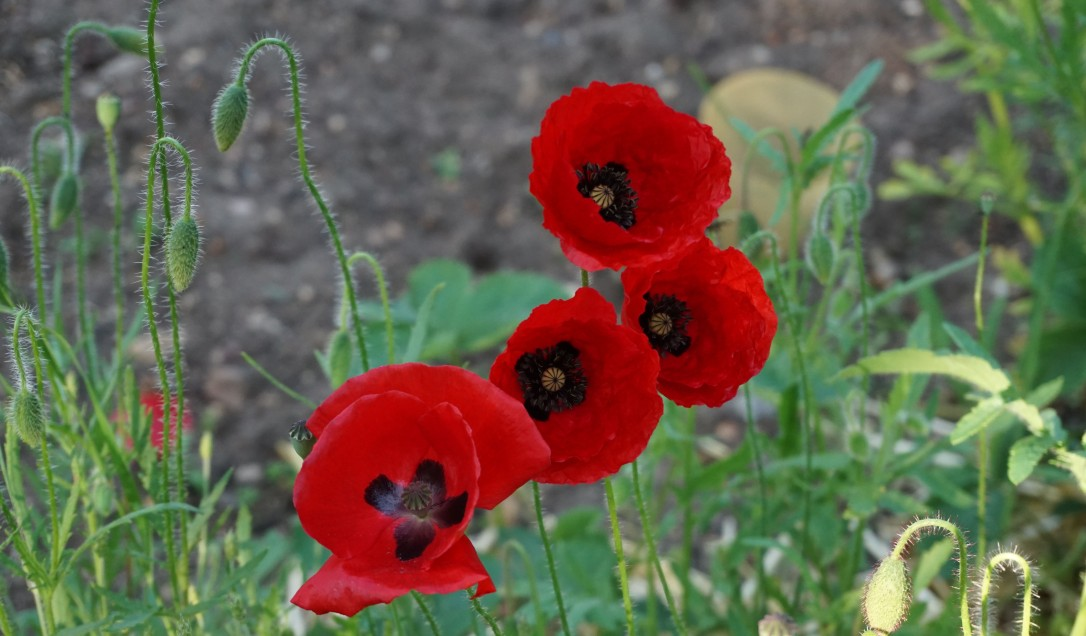 red poppies growing in the garden