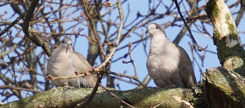 two collared doves in tree