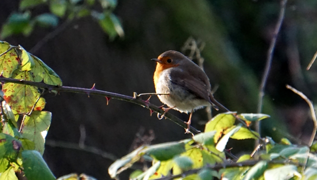 robin on bramble