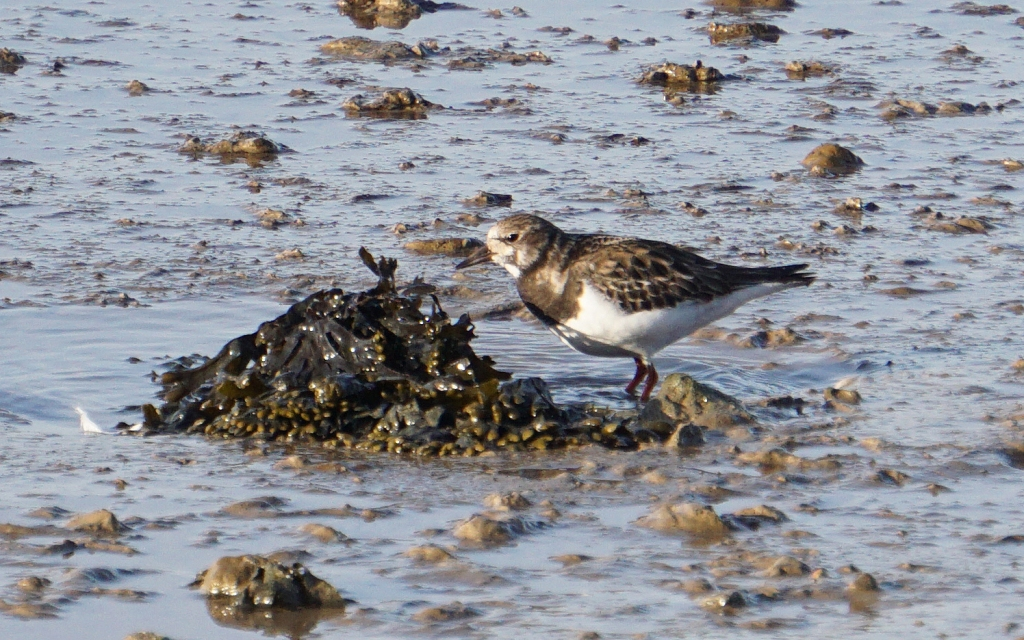 another turnstone