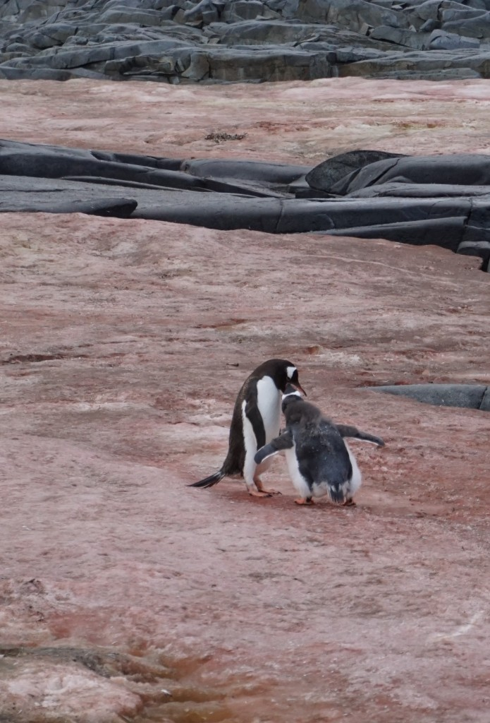 Young penguin being fed by parent