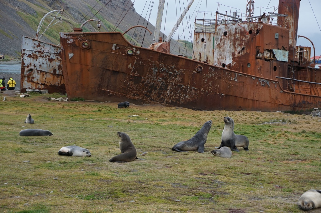 Seals among the remains of the whaling station