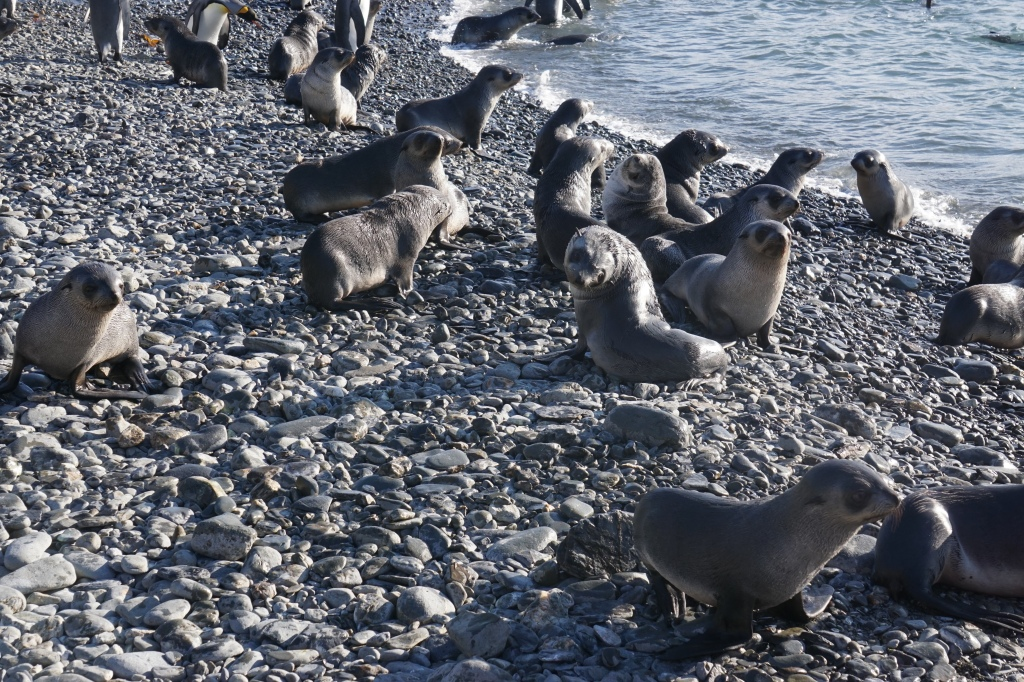 Seal pups in Fortuna Bay