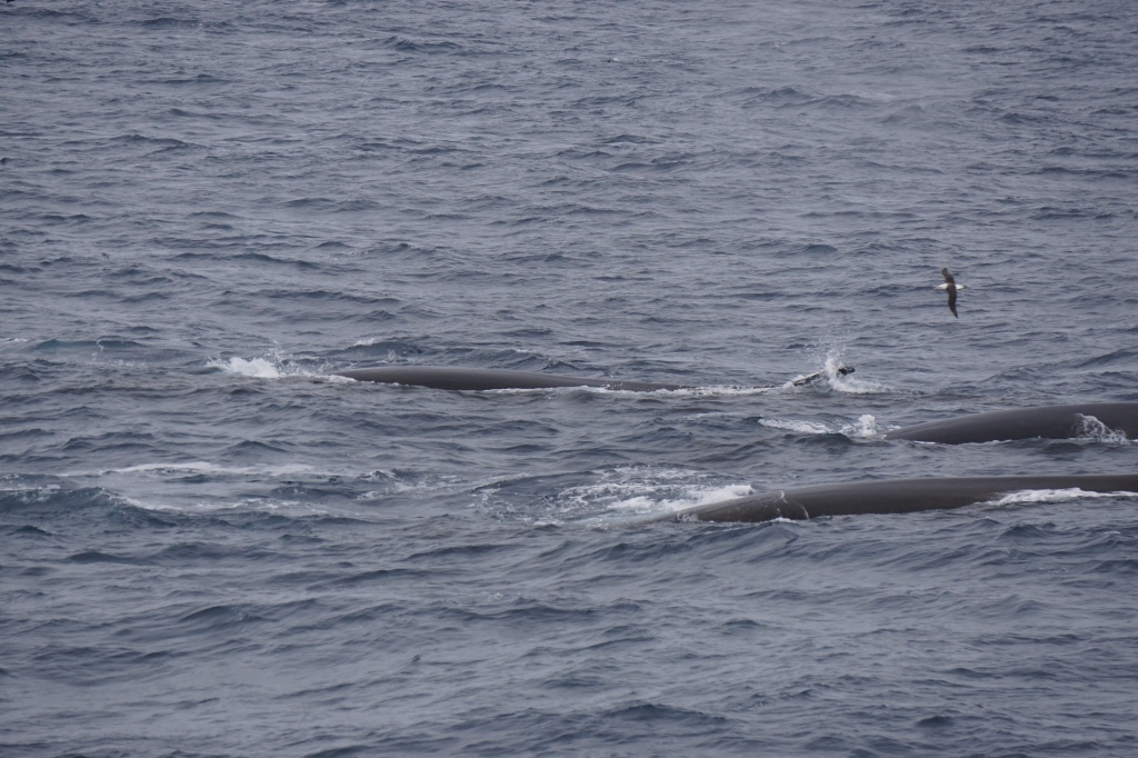 Fin whales near the ship
