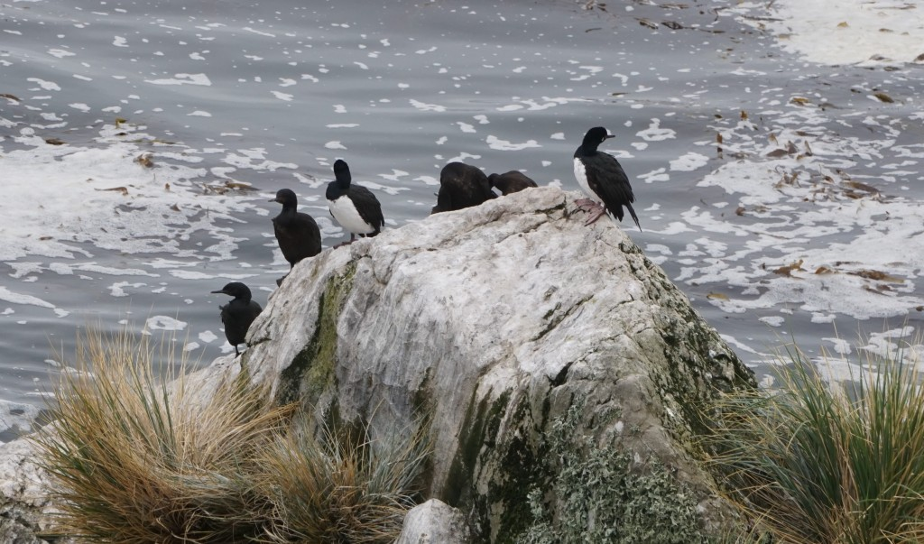 Shags on rock near Gypsy Cove