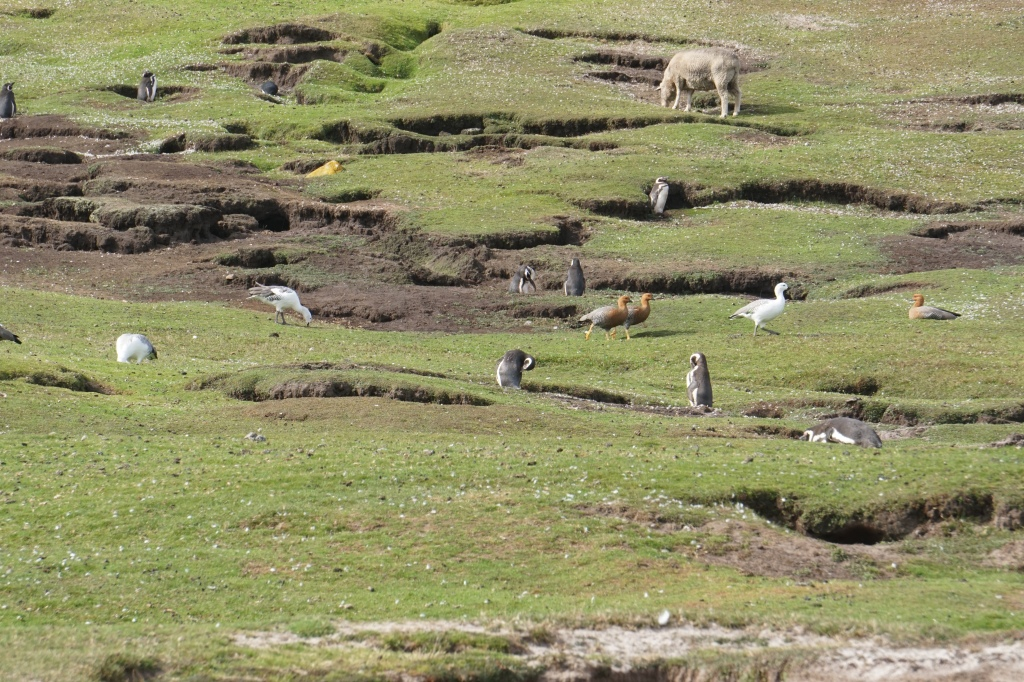 Sheep, penguins and geese