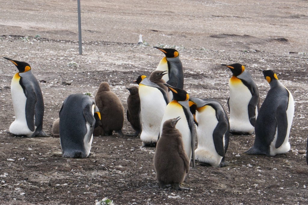 King penguins with young