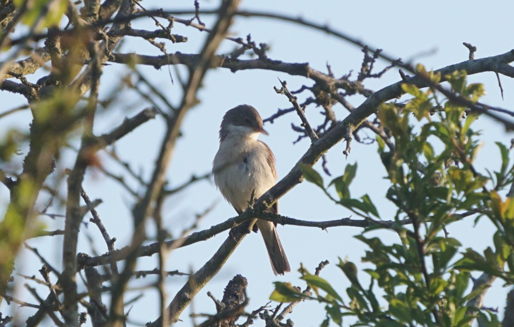 Lesser whitethroat (?)