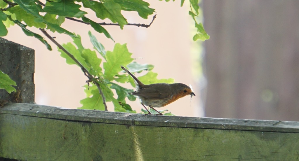 Robin with insects