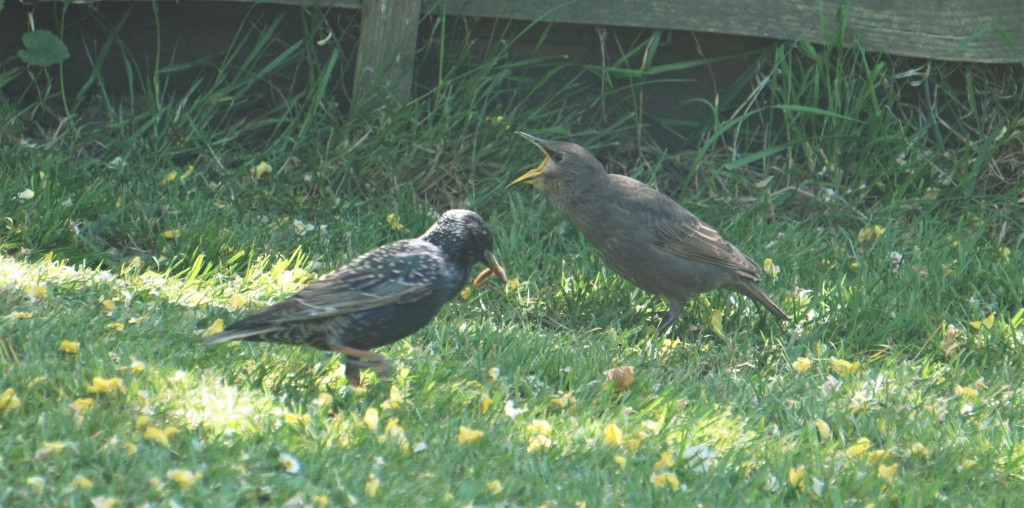 Young starling squawking for food