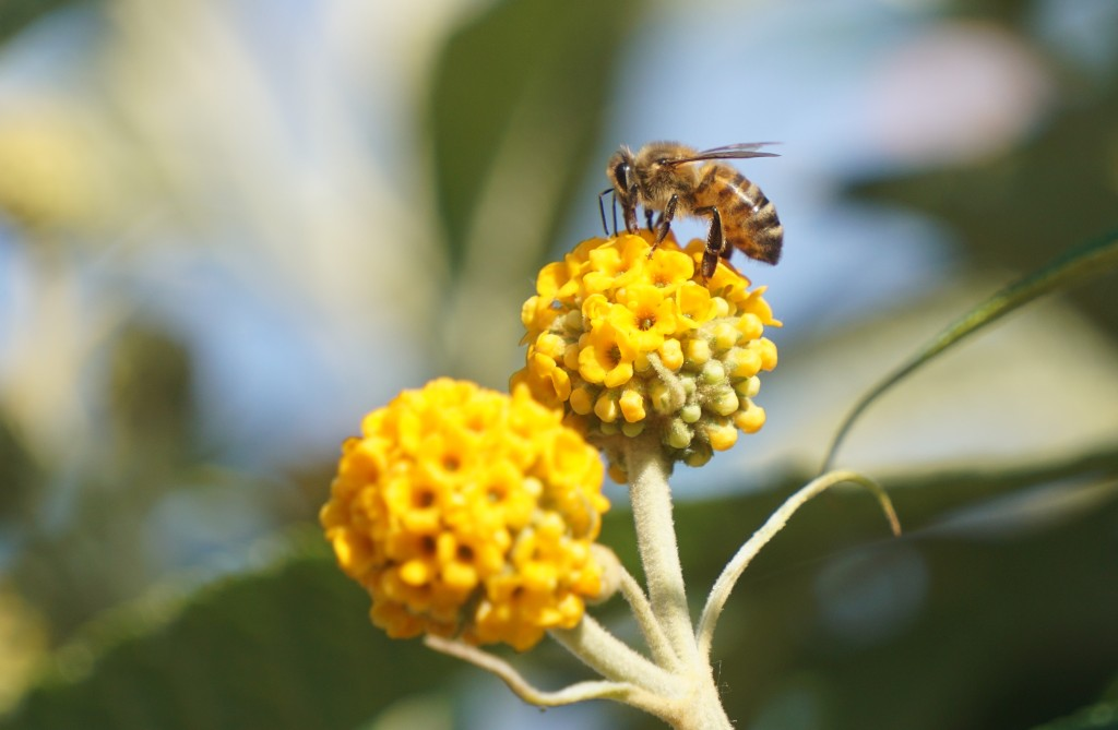 Honey bee on orange buddleia