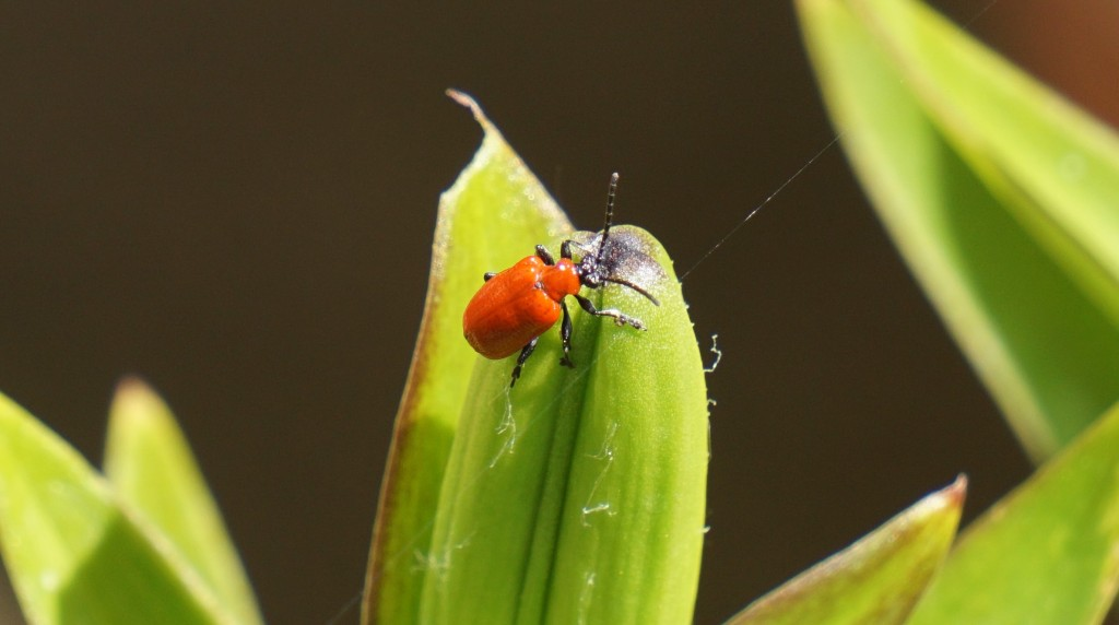 And finally a dreaded lily beetle