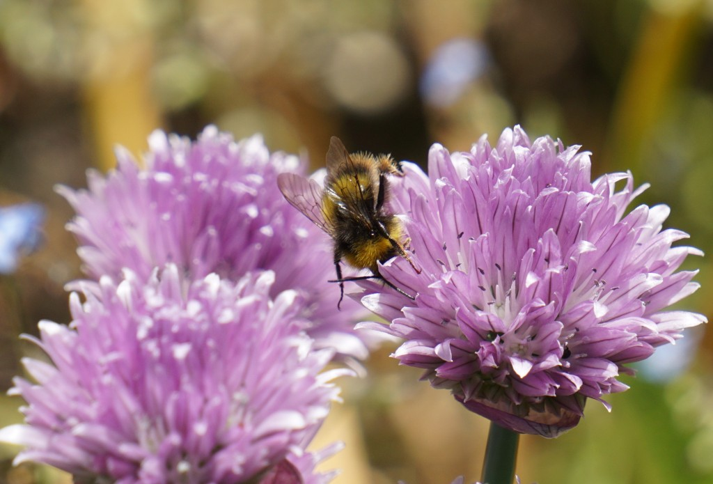 Bumble bee diving into a chive flower