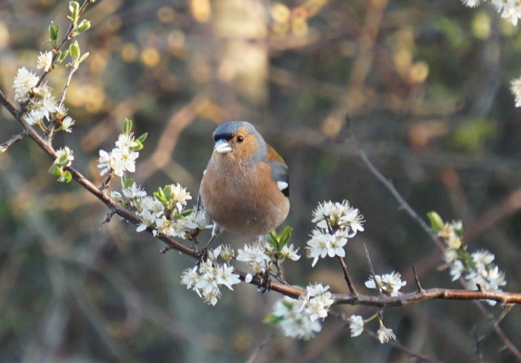A chaffinch pulling the petals from the blackthorn