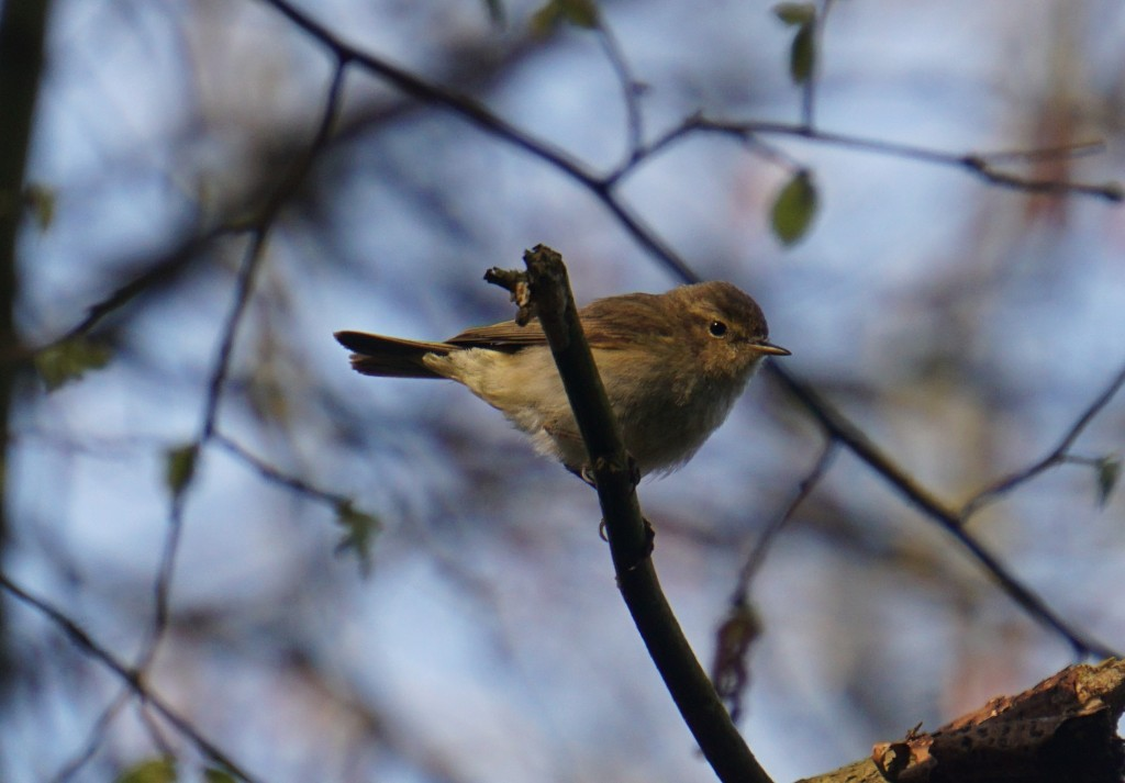 A chiffchaff amongst the branches