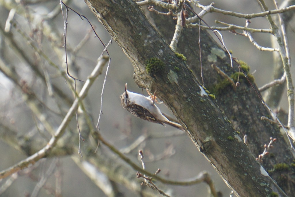 My first ever sighting of a treecreeper