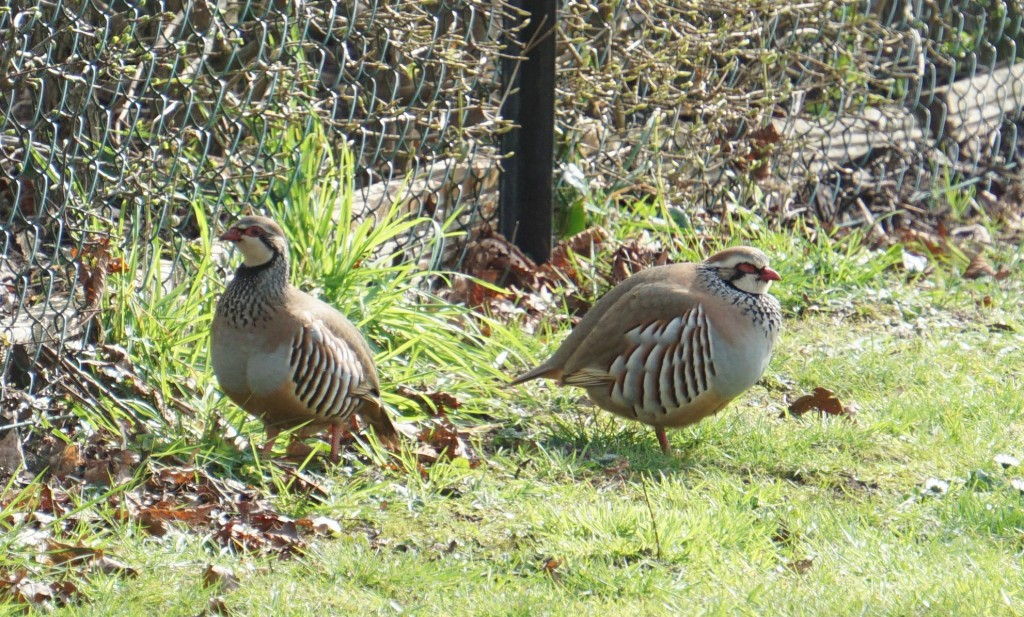 A pair of red-legged partridges visited the garden