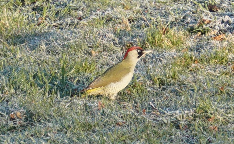 A green woodpecker in the field looking for ants and insects