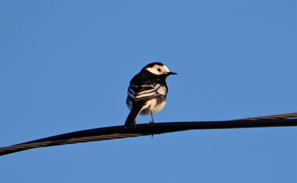 A pied wagtail on overhead wires - they are usually seen on the ground wagging their tail as they walk