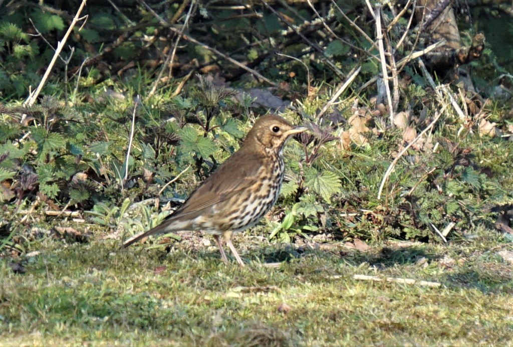 A song thrush - what a beautiful song they sing