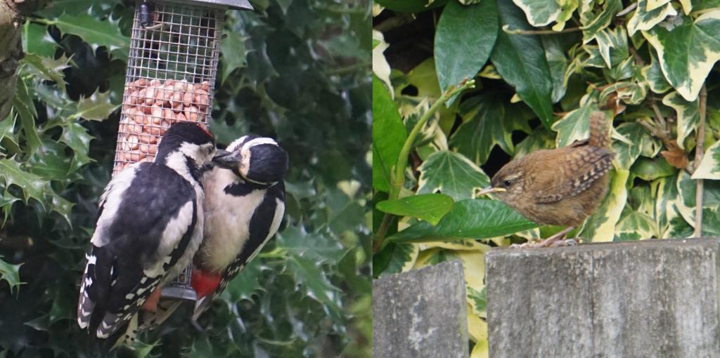 woodpeckers, wren