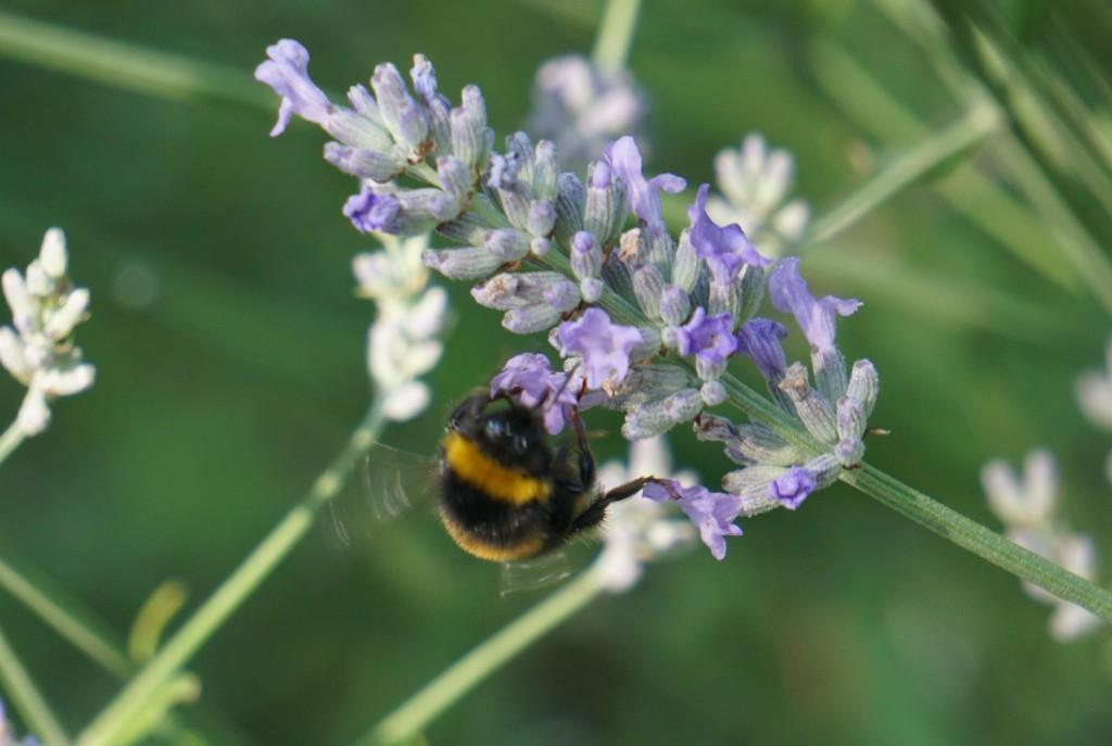 bumble bee on lavendar