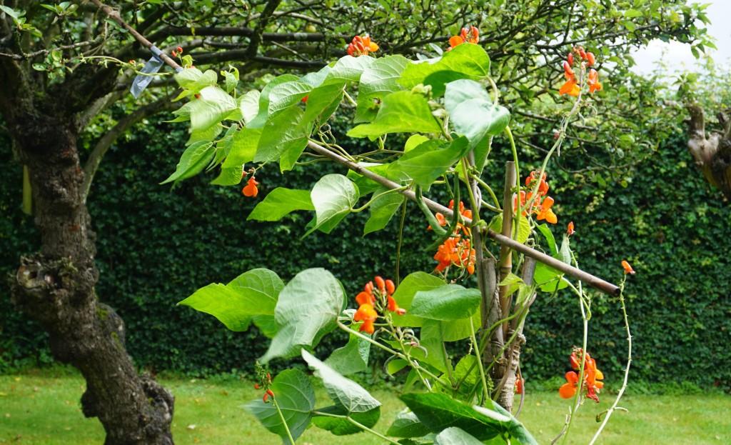 runner beans growing up apple tree